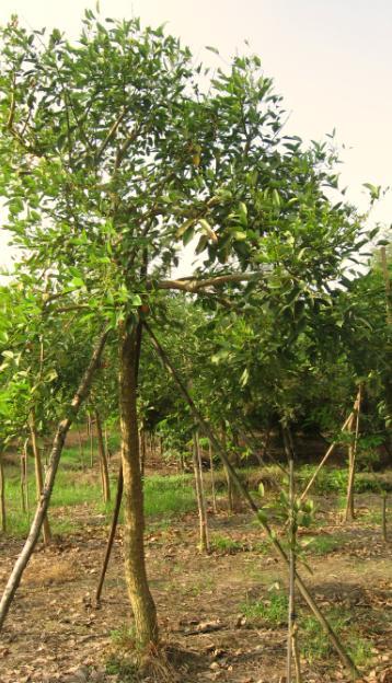 苗木基地9----鸡冠刺桐-惠州花场——惠州顺馨园林花