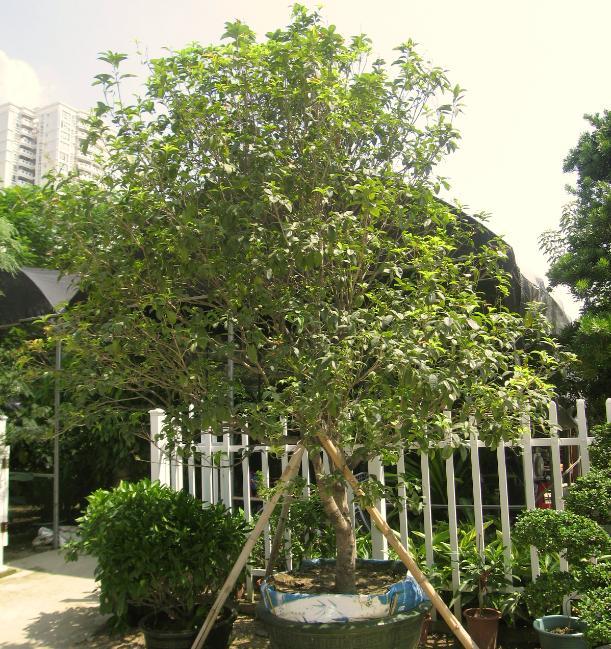 园林产品之园林绿化苗木——四季桂-惠州花场——惠州